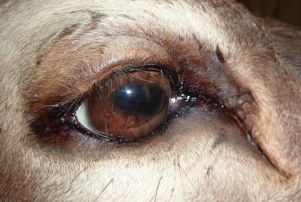 Tucson Taxidermy elk eye