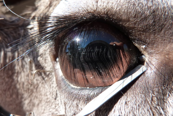 Setting a Coues Whitetail eye