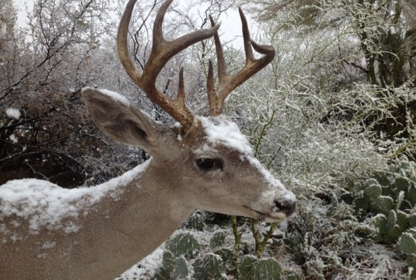 Coues Whitetail shoulder mount