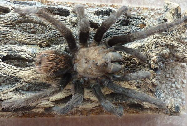 Desert Tarantula (Aphonopelma chalcodes)