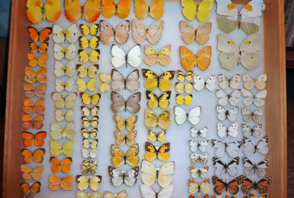 Tucson Taxidermy Butterflies Pieridae