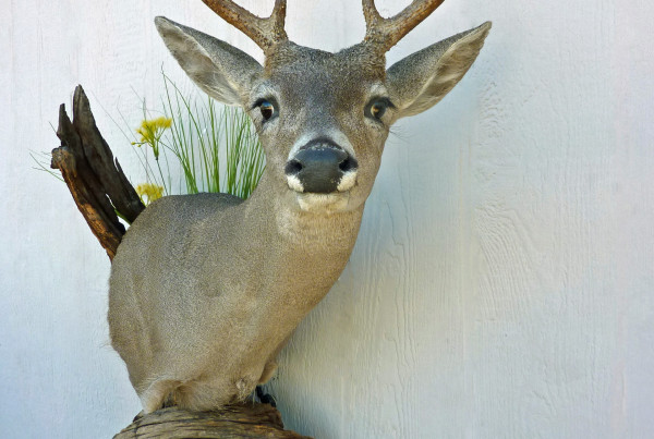 Tucson Taxidermy Coues Whitetail